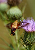 Hummingbird Clearwing Moth...