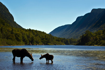 silhouette female moose with calf