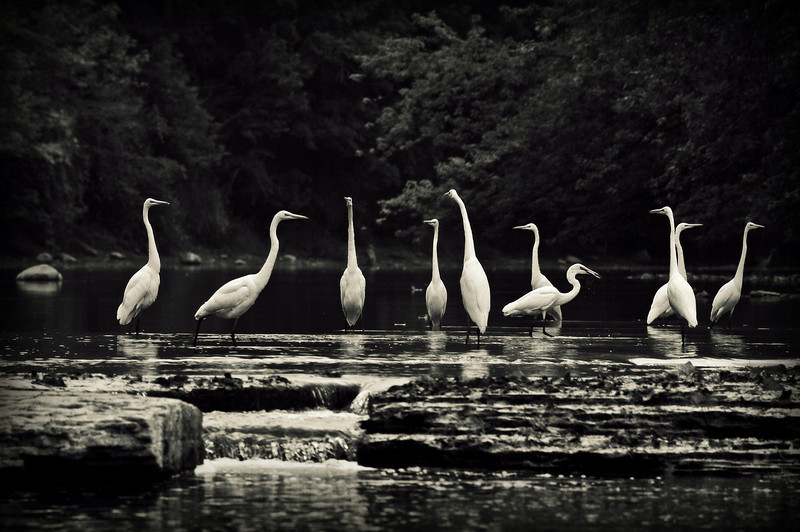 White Egrets on the Mississinewa River in Indiana