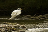Great White Egret...