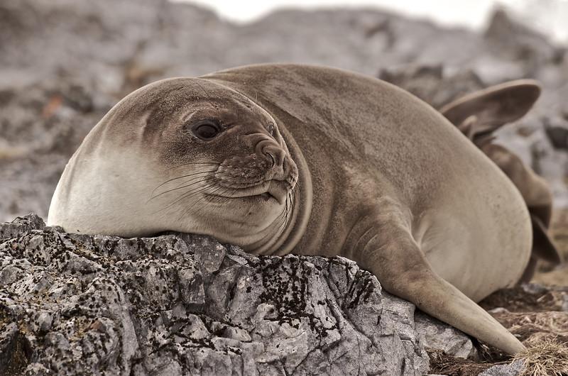 Weddell Seal, Torgerson Island, Antarctica