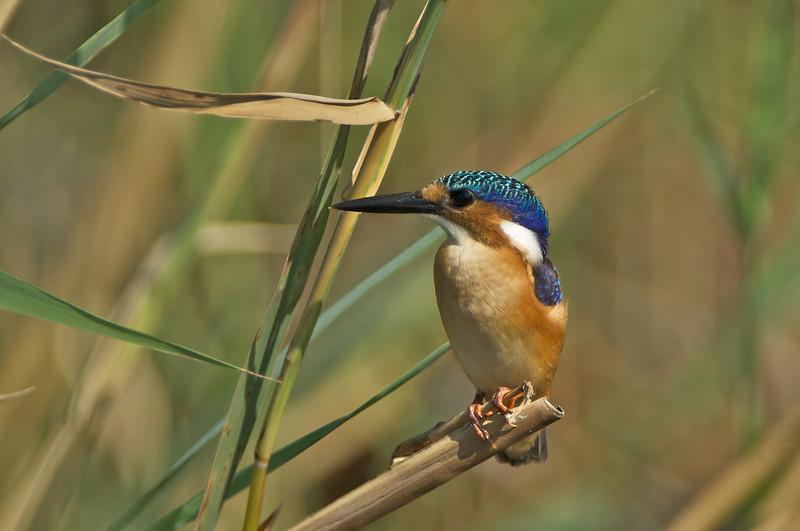 Malachite Kingfisher, Moremi Game Reserve, Okavango River Delta, Botswana