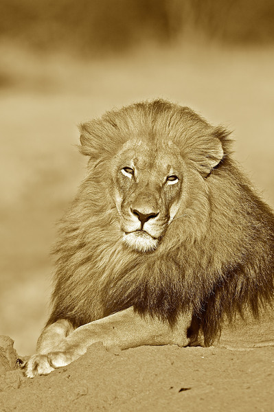 Lion, AfriCat Foundation, Okonjima, Namibia
