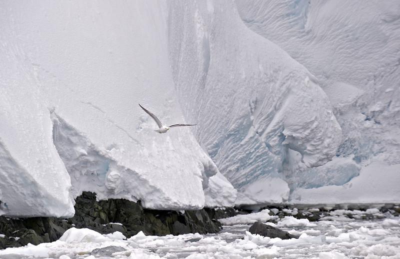 Kelp Gull and Glacier, Antarctica
