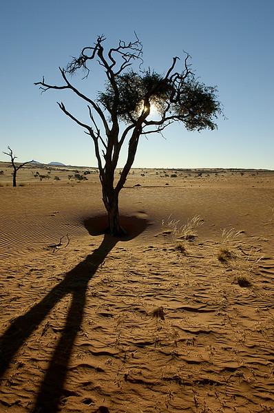 Acacia, NamibRand Nature Reserve, Namibia
