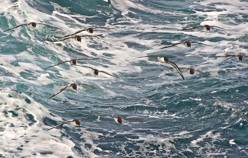 Cape Petrels, Drake Passage, Southern Ocean