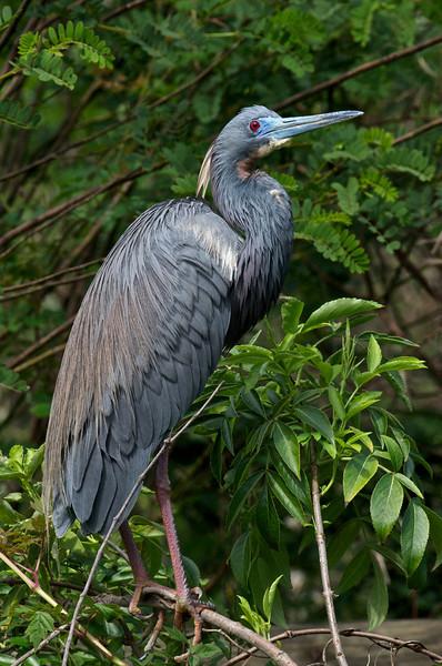 Tricolored Heron, St. Augustine, Florida