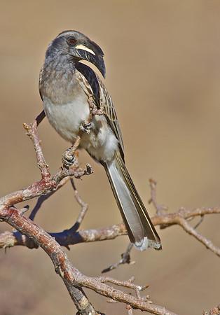 Gray Hornbill, Hobatere Lodge, Damaraland, Namibia