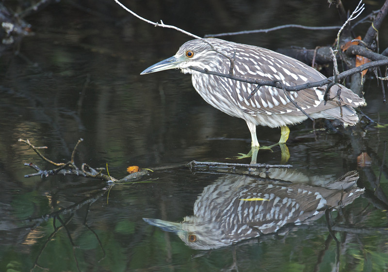 Juvenile Yellow-crowned Night Heron, Ding Darling National Wildlife Refuge, Florida