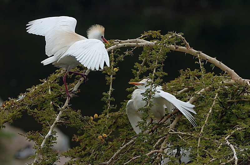 Cattle Egret Disagreement, San Diego Wildlife Park, California