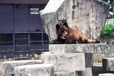 China, Guangzhou Zoo, Brown bear SM