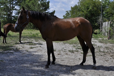 mare 7 yr old registered