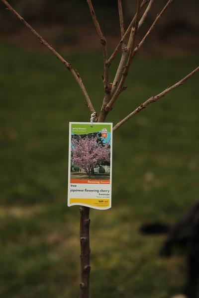 Anniversary Cherry Tree