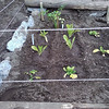 Transplanted spinach, romaine, w/ new celery