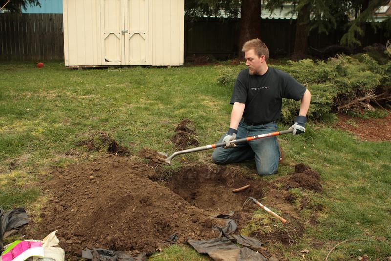 Planting the cherry tree!