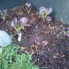 Purple mustard greens