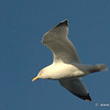 Gull Fly Past