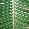 Detail of a palm frond at 10mm cafe in Korat, Thailand in August 2017