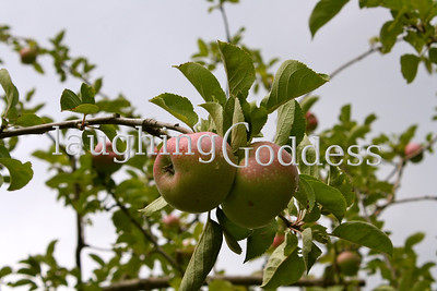 Ripening apples in the Hudson Valley- a signal that muggy summer days will soon give way to crisp fall moments.