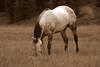 Durango_CowboyBensHorse