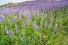 Lupines flowering at Bald Hills, north Humboldt County, California, April 2014. [Bald Hills 2014-04 017 Humboldt-CA-USA]