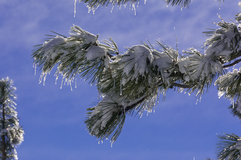 Snow and ice on a pine branch at the summit of Horse Mountain, Humboldt County, California, December 2015. [Horse Mountain 2015-12 037 Humboldt-CA-USA]