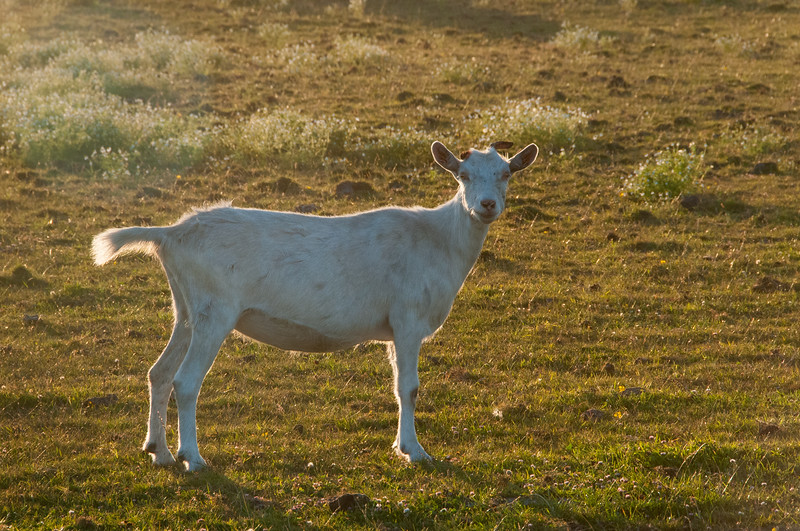 A goat enjoying the warm late afternoon sun in Arcata Bottoms farmland, Humboldt County, August 2012.