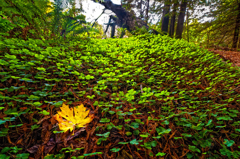 Fall in the redwood forest, as a bigleaf maple leaf lies in a bed of redwood sorrel, Pepperwood, Avenue of the Giants, Humboldt, California, November 2011. [AvenueOfTheGiants 2011-11 HDR 09-TM-TC CA-USA&3]