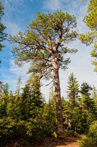 Ponderosa Pine (Pinus ponderosa), Onion Lake, June 2012. [Pinus ponderosa 015 OnionLake-CA-USA 2012-06_TC]