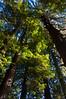 California Redwood (Sequoia sempervirens), near Orick, Humboldt, September 2010