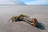 Washed up kelp on the Lost Coast, Humboldt County, California, September 2011. [Kelp Lost Coast 071_TM CA-USA 2011-09]