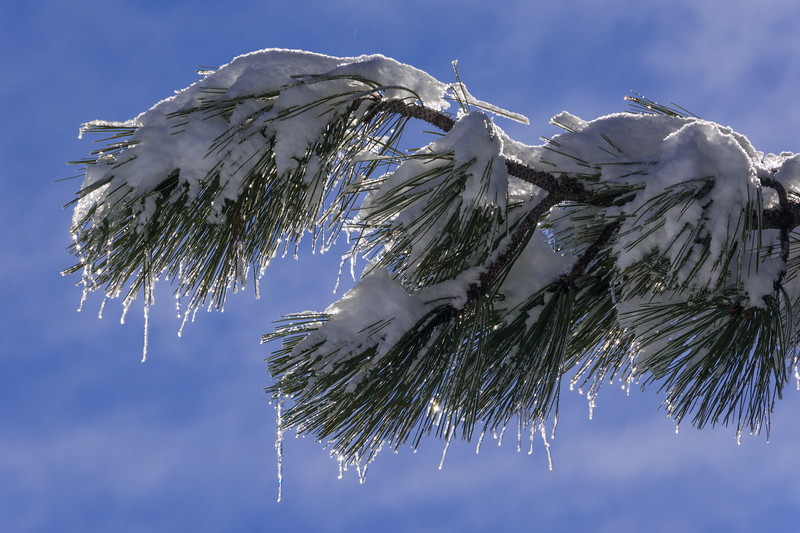 Snow and ice on a pine branch at the summit of Horse Mountain, Humboldt County, California, December 2015. [Horse Mountain 2015-12 036 Humboldt-CA-USA]
