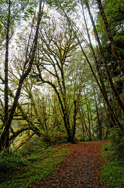 Alder trees along path at Elk Meadow Creek, Orick, Humboldt County, October 2010