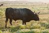 Longhorn cattle in Arcata Bottoms farmland, Humboldt County, August 2012.