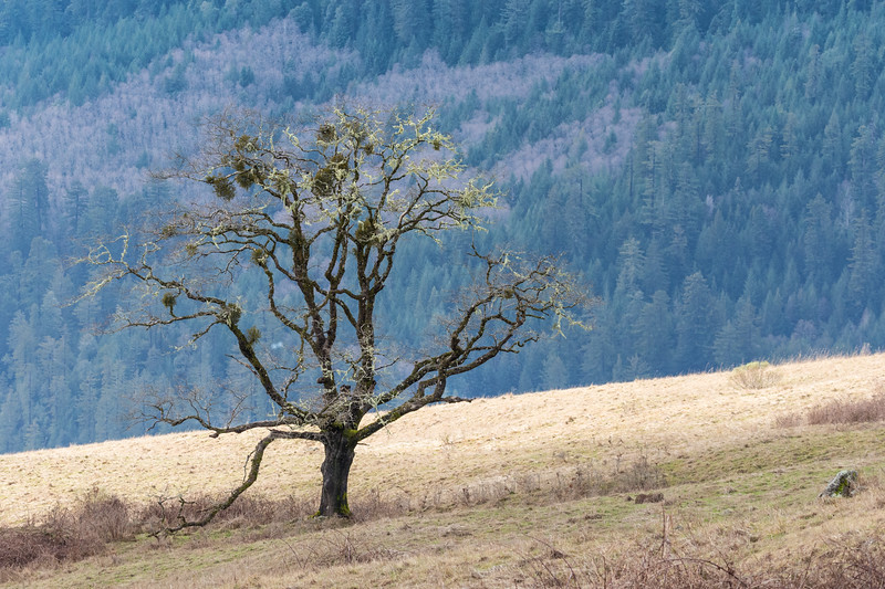 An old oak tree from Bald Hills Road, Humboldt County, late January 2016. [Bald Hills 2016-01 001 Humboldt-CA-USA]