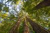 Among the tall trees of the Avenue of the Giants, Humboldt County, California, June 2014. [AvenueOfTheGiants 2014-06 001 CA-USA]
