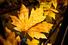 Fall colors of bigleaf maple near Rio Dell, Humboldt County, California, December 2011. [Rio Dell 2011-12 001 Humboldt-CA-USA]