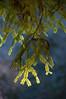 Sequoia sempervirens 017 AvenueOfTheGiants-USA 2011-01