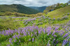 Lupine flowering blanketing the Bald Hills, north Humboldt County, California, April 2014. [Bald Hills 2014-04 045 Humboldt-CA-USA]
