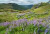 Lupine flowering blanketing the Bald Hills, north Humboldt County, California, April 2014. [Bald Hills 2014-04 045 Humboldt-CA-USA]