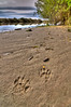 River Otter tracks beside the Mad River, Humboldt County, October 2010.