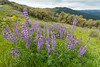 Lupine flowering blanketing the Bald Hills, north Humboldt County, California, April 2014. [Bald Hills 2014-04 001 Humboldt-CA-USA]