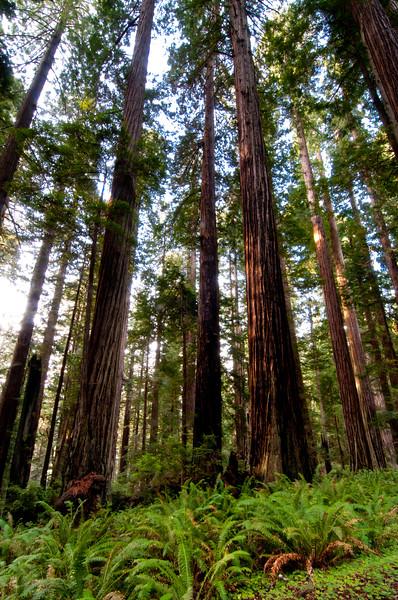 California Redwood (Sequoia sempervirens), near Orick, Humboldt, April 2011