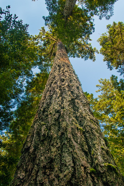 Giant old-growth Douglas Fir tree at Lady Bird Johnson Grove in Humboldt County, Northern California, July 2013. [LadyBirdJohnsonGrove 2013-06 001 CA-USA_V]