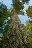 Giant old-growth Douglas Fir tree at Lady Bird Johnson Grove in Humboldt County, Northern California, July 2013. [LadyBirdJohnsonGrove 2013-06 001 CA-USA_V]