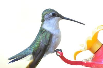 Hummingbirds, July 15, 2015