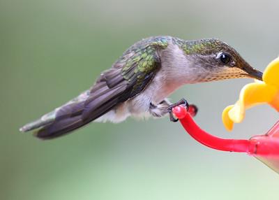 Hummingbirds, June 4, 2015
