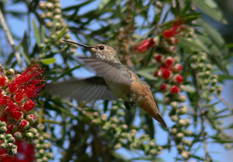 Allen's Hummingbird and Bottlebrush, South Coast Botanic Gardens, Palos Verdes, CA
