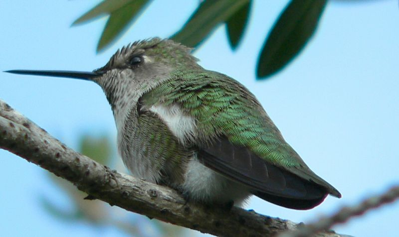 Anna's Hummingbird, South Coast Botanical Gardens.