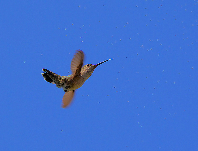 A Hummer's Aerial Banquet --- An Anna's Hummingbird darts about trying to catch a feast of insects, near Point Fermin, San Pedro, CA, May 31 2008.